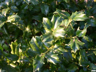 Ilex 'Mesog' (CHINA GIRL® holly), leaves
