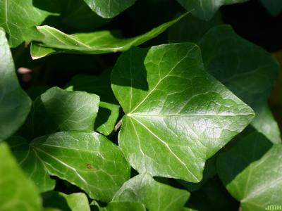 Hedera helix 'Woerner' (Woerner ivy), leaves
