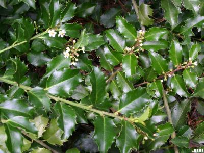 Ilex ×meserveae 'Blue Princess' (Blue Princess Meserve holly), leaves