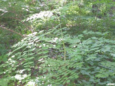 Aralia spinosa L. (devil's walking stick), habit