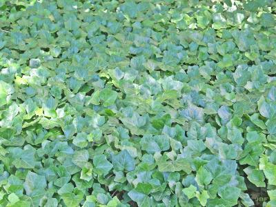 Hedera helix 'Woerner' (Woerner ivy), habit