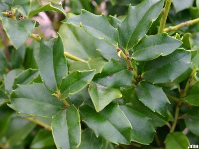 Ilex 'Mesdob' (CHINA BOY® holly), leaves