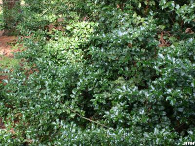 Ilex ×meserveae 'Blue Princess' (Blue Princess Meserve holly), branches