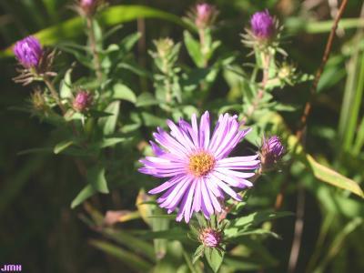 Symphyotrichum novae-angliae (L.) G.L.Nesom (New England aster), flower