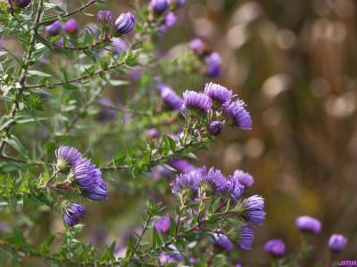 Symphyotrichum novae-angliae (L.) G.L.Nesom (New England aster), flowers