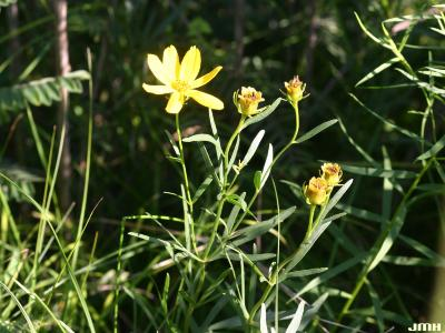 Coreopsis palmata Nutt. (prairie coreopsis), flowers