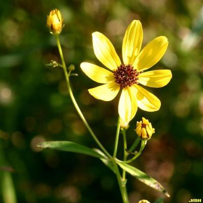 Coreopsis tripteris L. (tall coreopsis), flower