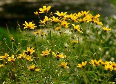 Coreopsis tripteris L. (tall coreopsis), flowers, habitat