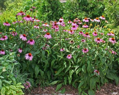 Echinacea purpurea 'Bravado' (Bravado purple coneflower), habit