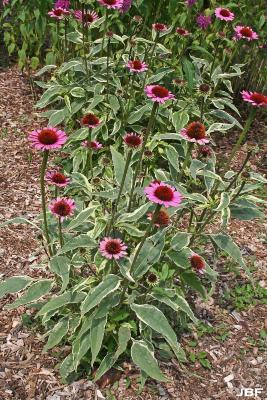 Echinacea purpurea 'Prairie Frost' (Prairie Frost purple coneflower), habit