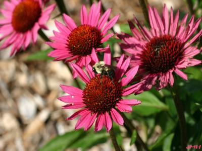 Echinacea purpurea 'Vintage Wine' (Vintage Wine purple coneflower), flowers