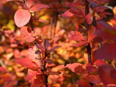 Berberis 'Tara'  (emerald carousel barberry), leaves, stems