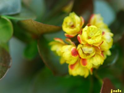 Berberis thunbergii sp. (JAPANESE BARBERRY), flower