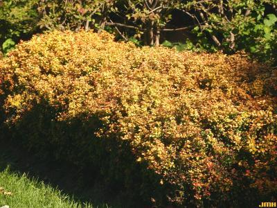 Berberis thunbergii 'Bogozam' (BONANZA GOLD™ - Japanese barberry), habit