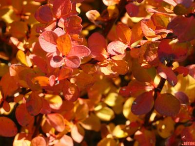 Berberis 'Tara' (emerald carousel barberry), leaves