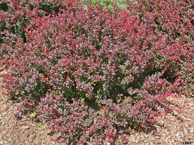 Berberis thunbergii 'Gentry' (ROYAL BURGUNDY® Japanese barberry), shrub habit