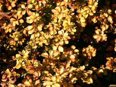 Berberis thunbergii 'Bogozam' (BONANZA GOLD™ - Japanese barberry), leaves