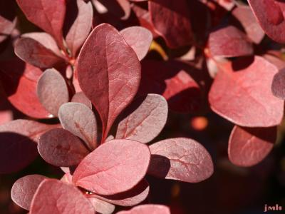 Berberis thunbergii 'Antares' (Antares purple-leaved Japanese barberry), leaves