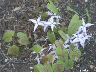 Epimedium brachyrrhizum W. T. Stearn (short-rooted barrenwort), flower, habit