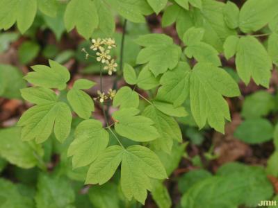 Caulophyllum thalictroides (L.) Michx. (blue cohosh), flower, leaves