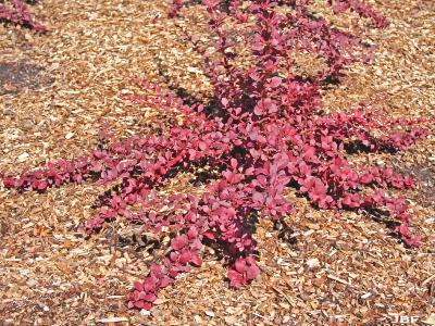 Berberis thunbergii 'Antares' (Antares purple-leaved Japanese barberry), habit