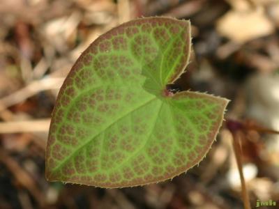 Epimedium ×versicolor 'Sulphureum' (yellow barrenwort), leaf