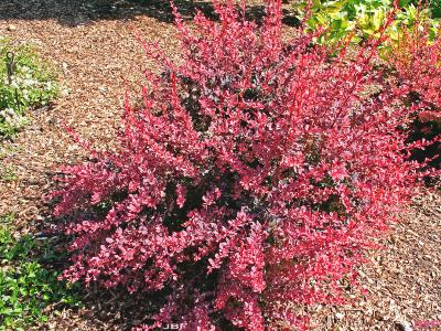 Berberis thunbergii 'Rose Glow' (Rose Glow Japanese barberry), shrub habit