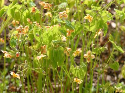 Epimedium grandiflorum 'Orange Queen' (Orange Queen longspur barrenwort), flowers