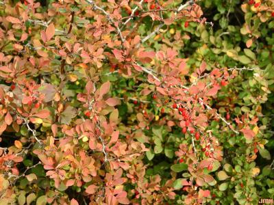 Berberis thunbergii 'Thornless' (Thornless Japanese barberry), leaves, fruit