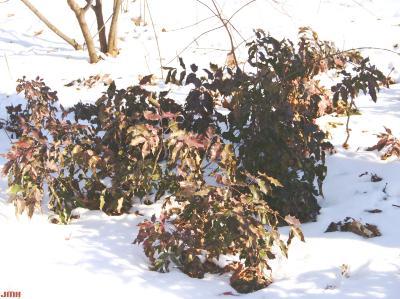 Mahonia aquifolium (Oregon grape-holly), shrub habit