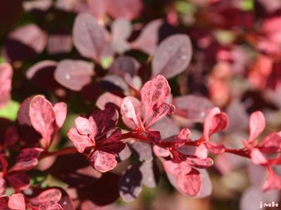 Berberis thunbergii 'Rose Glow' (Rose Glow Japanese barberry), leaves