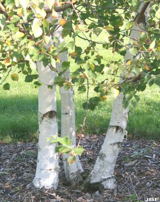 Betula kirghisorum Sav. Ryczg. (Kirghiz birch), trunks