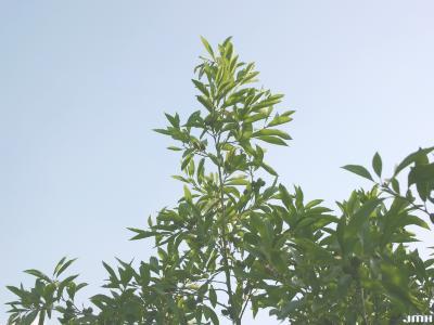 Alnus maritima (Marsh.) Muhl. (seaside alder), branches
