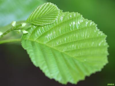 Alnus glutinosa (L.) Gaertn. (European black alder), leaves