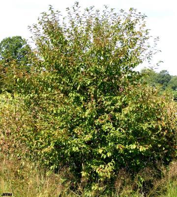 Betula alleghaniensis Britton (yellow birch), habit