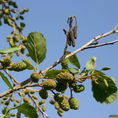 Alnus glutinosa (L.) Gaertn. (European black alder), branches, leaves, and fruit