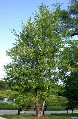 Betula nigra L. (river birch), habit