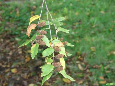 Betula alleghaniensis Britton (yellow birch), leaves