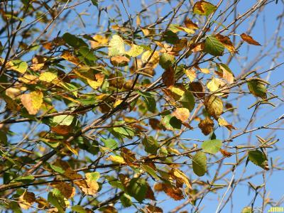 Betula 'Madison' (WHITE SATIN™ birch), branches