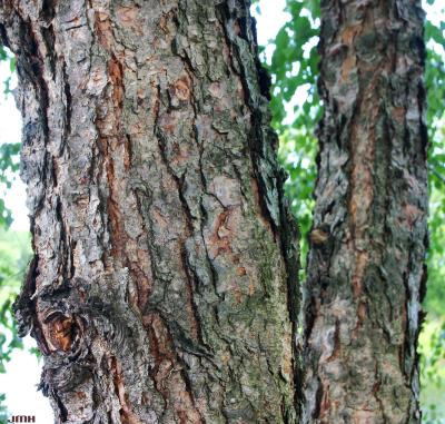 Betula nigra (river birch), bark