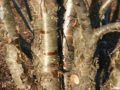 Betula alleghaniensis Britton (yellow birch) bark, trunks
