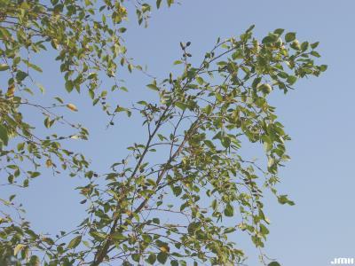 Betula davurica Pall. (Dahurian birch), branches