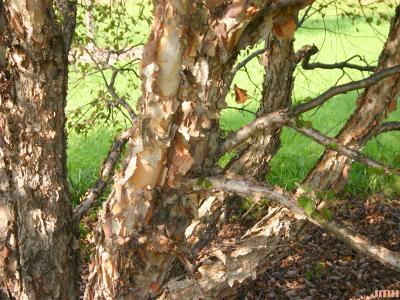 Betula nigra 'Little King' (FOX VALLEY® river birch), trunk