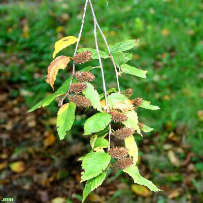 Betula alleghaniensis Britton (yellow birch), leaves and female catkins