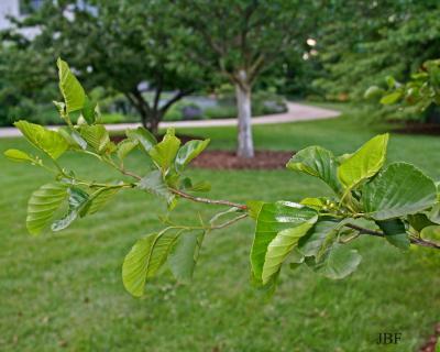 Alnus glutinosa (L.) Gaertn. (European black alder), branches