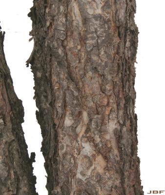 Betula nigra L. (river birch), trunk