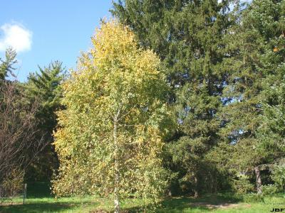 Betula pendula Roth (European white birch), growth habit, tree form, fall color
