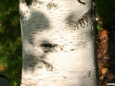 Betula papyrifera (paper birch), bark