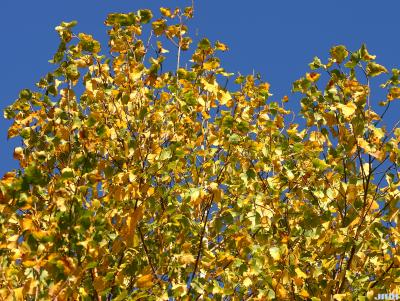 Betula pendula Roth (European white birch), upper branches, fall color