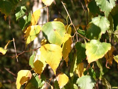 Betula pendula Roth (European white birch), leaves, fall color
